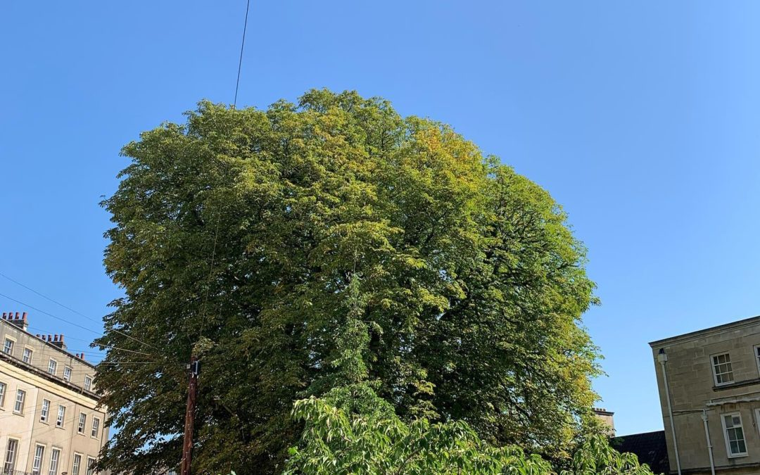 Chestnut tree reduction